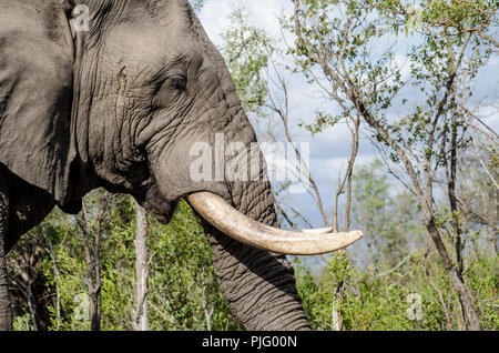 Wild elephant in Manyeleti Game Reserve - Stock Image