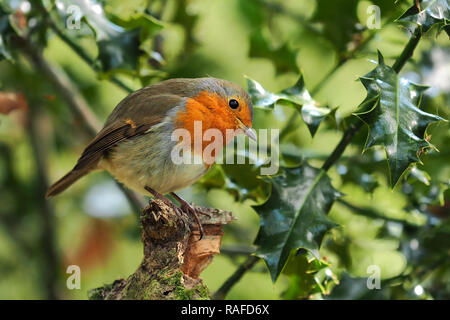 Robin (Erithacus rubecula) perched on tree branch surrounded by Holly in woodland. Tipperary, Ireland - Stock Image