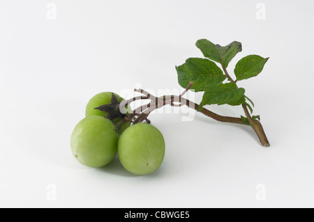 Potato (Solanum tuberosum). Stalk with small green fruit. Studio picture against a white background. - Stock Image