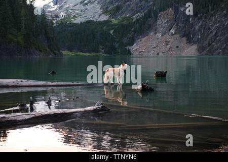 Dog standing on log floating at Blanca Lake against mountains - Stock Image