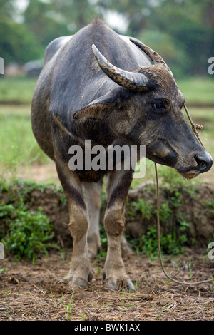 An adult carabao standing in a rice field in Mansalay, Oriental Mindoro, Philippines. - Stock Image