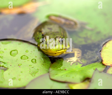 Frog on lily pad in Vermont pond - Stock Image