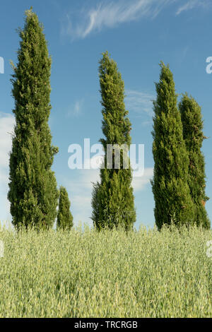 Four typical cypress trees as seen in the Tuscan hills in Italy - Stock Image