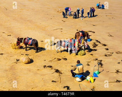 Donkey man on Whitby West Beach with his donkey's enjoying a rest and a feed of fresh hay with families passing - Stock Image
