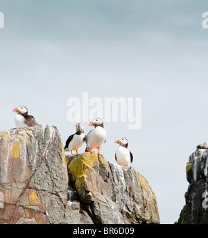 Puffins on rocks in Farne Island, UK - Stock Image