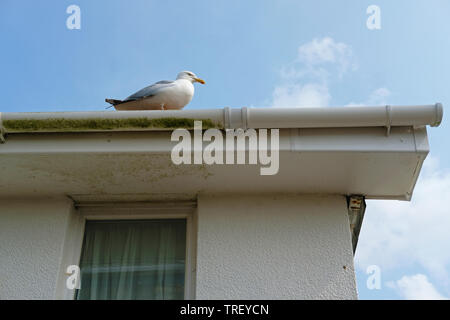 A seagull sitting on the guttering of a house. - Stock Image