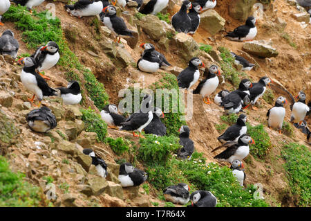 A crowded cliff face of puffins on the island of Skomer off the Pembrokshire coast in Wales.UK - Stock Image