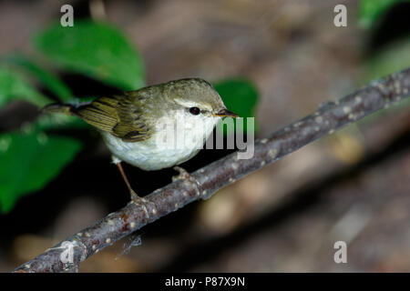 Phylloscopus trochiloides. The Greenish Warbler in nature. Russia, the Ryazan region (Ryazanskaya oblast), the Pronsky District, Denisovo. - Stock Image
