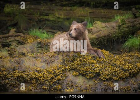 A young grizzly bear (Ursus arctos) rests on the banks of the Khutzeymateen Inlet at low tide, British Columbia, Canada - Stock Image