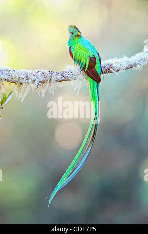 A male Resplendent Quetzal displays on a wild avocado tree limb during breeding season in the mountains of southern - Stock Image