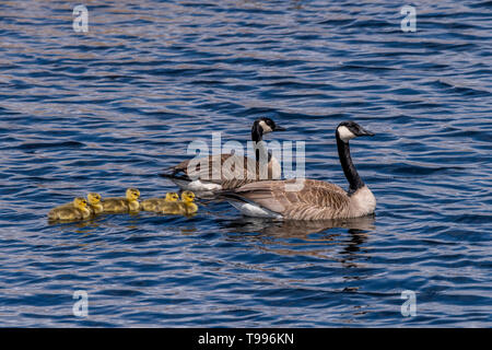 Two Canada Geese (Branta canadensis) adults and five goslings (chicks) swimming. - Stock Image