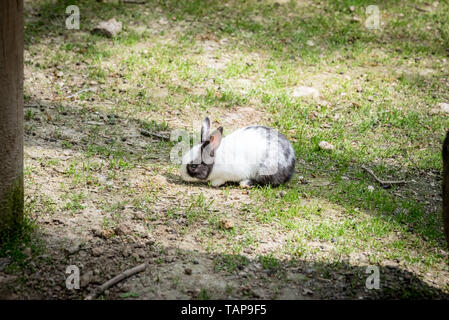 Portrait of white and black small fluffy rabbit stands on soil in sunny day. - Stock Image