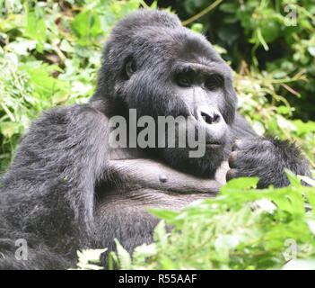 A  silverback male mountain gorilla (Gorilla beringei beringei) relaxes after a morning feeding on forest vegetation. About 1,000 mountain remain in U - Stock Image