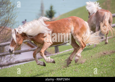 Haflinger Horse. Two adult mares bucking on a meadow. South Tyrol, Italy - Stock Image