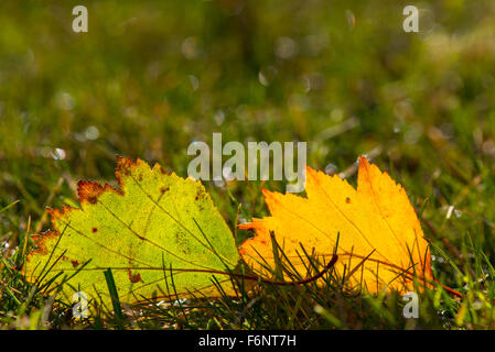 Pair of autumn colored leaves on lawn - Stock Image