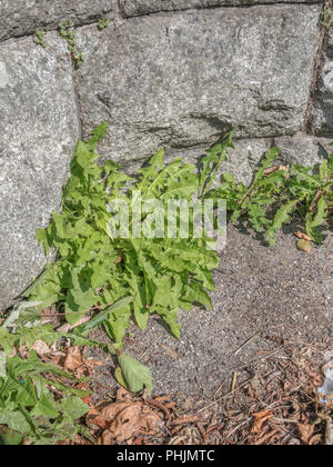 Green foliage / leaves of a variety of common Dandelion [Taraxacum officinale] growing out of a stone wall. Related to Lettuce, the leaves are edible. - Stock Image