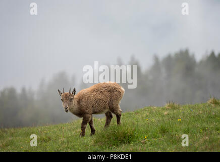 Careful ibex - Stock Image