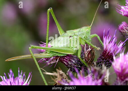 Female Upland Green Bush Cricket (Tettigonia cantans) foraging on a thistle flower, ovipositor showing. - Stock Image