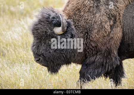 A bull bison in autumn in Yellowstone National Park. - Stock Image