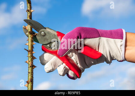 Woman pruning roses using secateurs whilst wearing leather gloves, UK. Garden shears cutting rose stem. - Stock Image