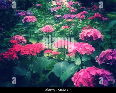 Pink hydrangea flowers - Stock Image