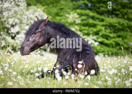Lusitano. Juvenile black stallion lying on a pasture in spring. Switzerland - Stock Image