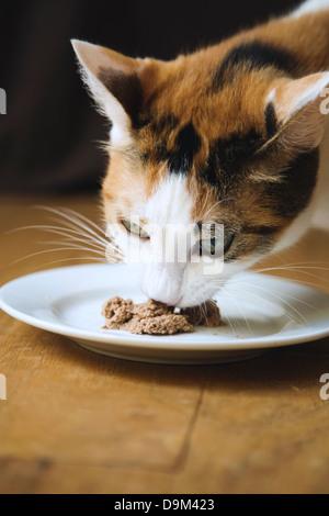 Calico car, close up, eating wet cat food - Stock Image