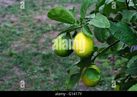 Ripening lemons on a tree after the rain, with grass and lawn in the background. - Stock Image