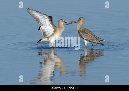 Black-tailed godwits (Limosa limosa) fighting. Norfolk, England. September. - Stock Image