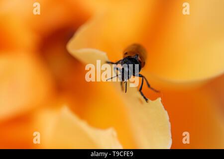 Macro Shot Of Ant Bag Beetle (Clytra Laeviuscula) On An Orange Rose Flower - Stock Image