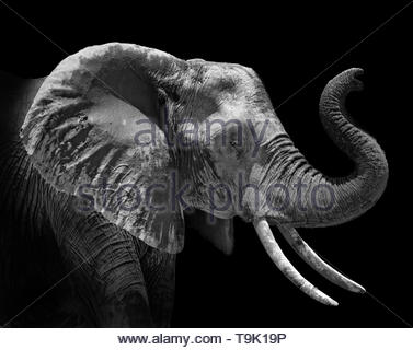 head profile of an african elephant Loxodonta africana on black background - Stock Image