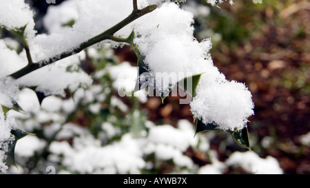 Holy leaf under snow in Woburn Sands  Buckinghamshire - Stock Image