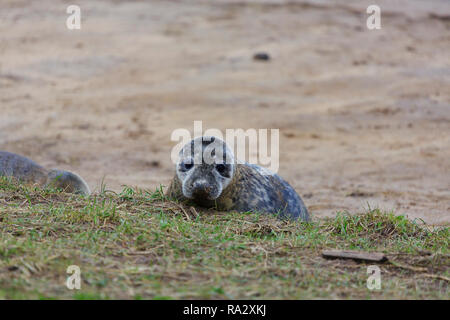 Grey seal pup at Donna Nook nature reserve, Lincolnshire, England - Stock Image