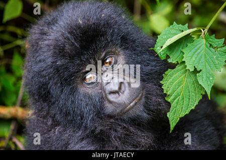 Young mountain gorilla (Gorilla beringei beringei) in the Virunga National Park, UNESCO, Democratic Republic of the Congo - Stock Image