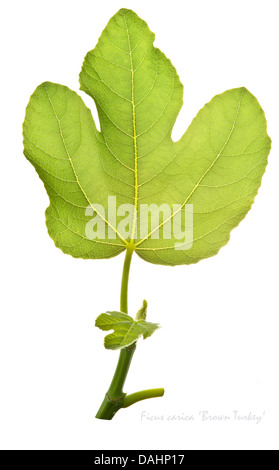 Fig (Ficus carica) 'Brown Turkey' leaves on the white background July England UK Europe - Stock Image