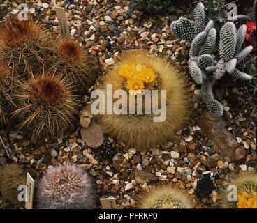 Golden Powderpuff Cactus in Flower - Stock Image