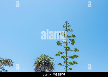 Flowering stalk of Agave parryi against a blue sky. - Stock Image