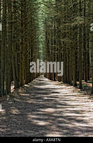 Established entry way with row of tall monumental pine trees - Stock Image