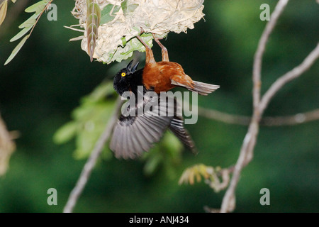 Vieillot's Black Weaver bird (castaneofuscus race) engaged in nest building hanging from the nest - Stock Image