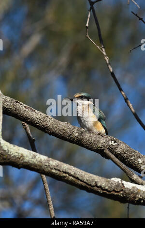 An Australian, Queensland Immature Sacred Kingfisher ( Todiramphus sanctus ) perched on a tree branch resting - Stock Image