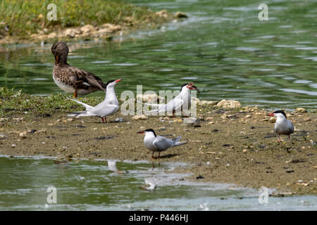Common tern wild seabird struggling to eat a large fish - Stock Image
