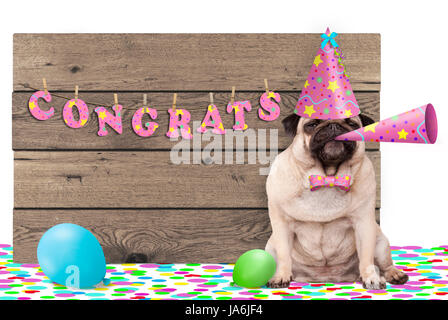 cute pug puppy dog with pink party hat and horn and wooden sign with text congratulations, isolated on white background - Stock Image