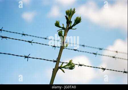 A tree branch grows through barbed wire -symbolling freedom and hope. - Stock Image