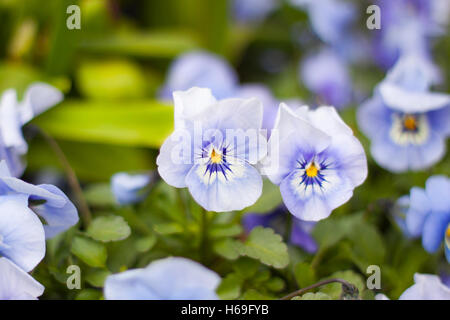 Pansies violet viola altaica leaf leaves green close-up colorful white nature Summer sun water flowers flower flowering - Stock Image