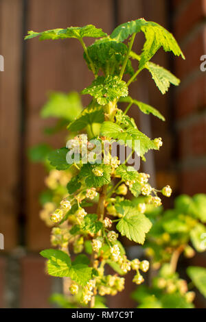 Spring blossom of black currant berry plant is garden - Stock Image