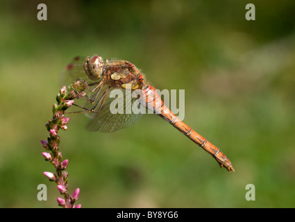 Common Darter Dragonfly - Stock Image