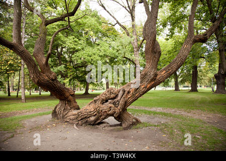 Ancient tree in Margaret Island in Budapest, Hungary - Stock Image