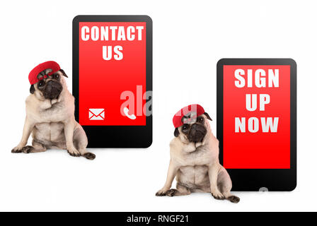 cute pug puppy dog looking smart, sitting next to tablet phone with text contact us and sign up now, wearing red cap, isolated on white background - Stock Image