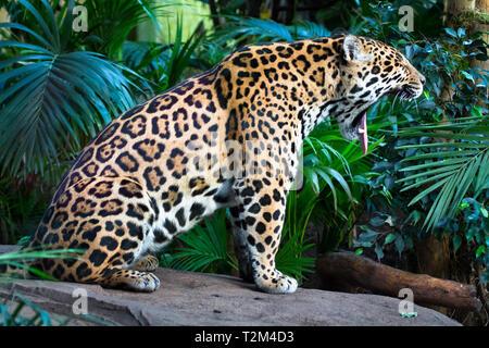 An adult jaguar (Panthera onca) among jungle vegetation yawns, revealing a pink tongue and massive teeth. - Stock Image