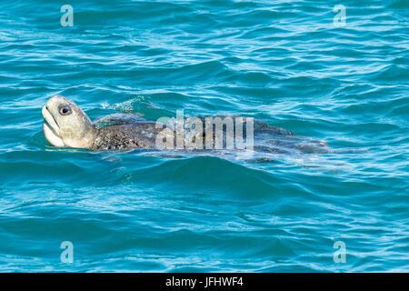 Flatback Sea Turtle (Natator depressus) surfacing in Roebuck Bay, Broome, Western Australia - Stock Image